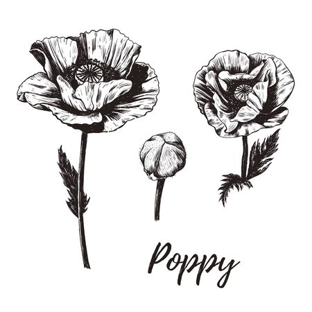 poppy flower vector illustration. Poppy sketch drawing. Vintage vector botanical illustration. Set. Poppies. Ilustrace