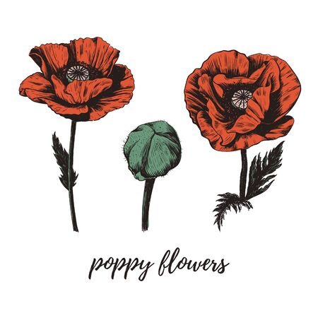Red poppy flower vector illustration. Poppy sketch drawing. Vintage vector botanical illustration. Set. Poppies.