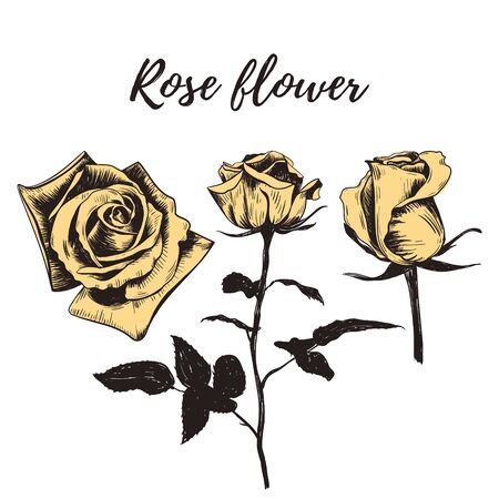 Yellow rose flower. Rose flower sketch hand drawing. Rose vector illustration. Collection of roses. Flower set