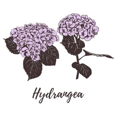 Violet hydrangea vector hand drawing. Set hydrangea flower