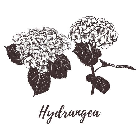 Hydrangea flower vector illustration. Ilustrace