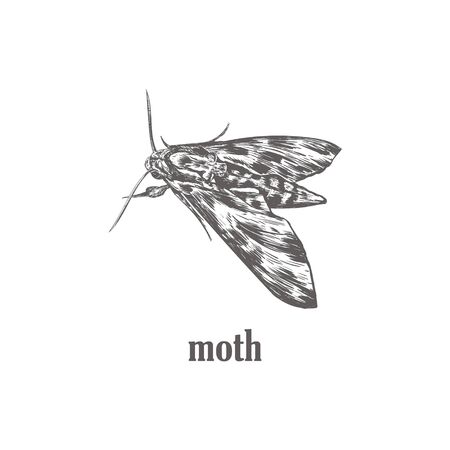Moth sketch vector illustration. Moth butterfly art