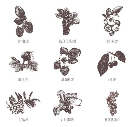 Berries sketch hand drawing. Collection of berries vector illustration. Set berries.  Иллюстрация