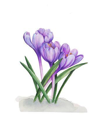Crocuses purple flowers. Snowdrops Stock fotó