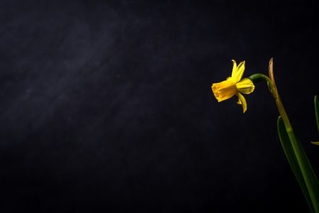 Isolated daffodil on a chalkboard back drop from the right side of the frame gently highlighted. Stok Fotoğraf