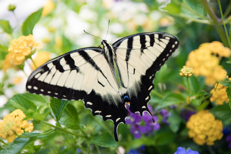 Up close yellow swallowtail butterfly perched on flowers in a garden.