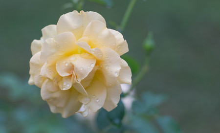 Beautiful background photo of a yellow rose with water droplets after a springtime shower.