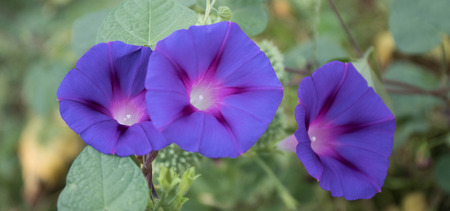 A beautiful close up photo of three purprle morning glory flowers.