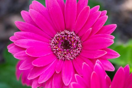 A beautiful macro photo of a single bright pink gerber daisy. Archivio Fotografico