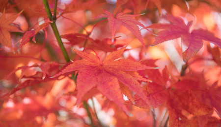 Bright and vibrant close up photo of Japanese Maple leaves on a tree in autumn. Фото со стока