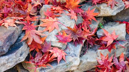 Fallen autumn Japanese Maple leaves scattered over rocks.