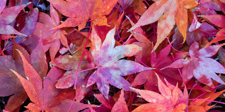 A pile of vibrant red Japanese Maple leaves scattere on the ground in autumn. Archivio Fotografico