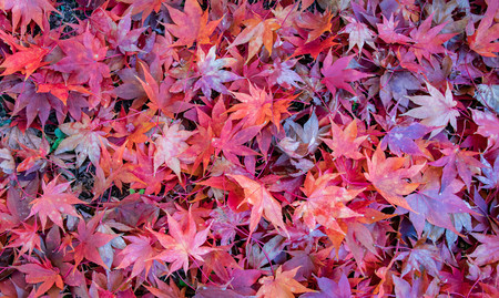 A pile of vibrant red Japanese Maple leaves scattere on the ground in autumn. Фото со стока