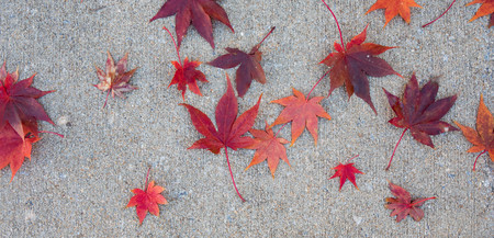 Vibrant red japanese maple leaves scattered on a sidewalk in the fall.