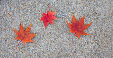 Three vibrant red japanese maple leaves lying on the sidewalk in the fall.