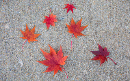 Six vibrant red japanese maple leaves scattered on the sidewalk in the fall.