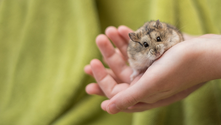 An adorable hamster cradled in a young girl's hands staring into the camera.