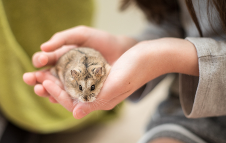 An adorable hamster being cradled by a young girl in her hand.s