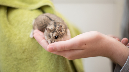 An adorable hamster crawling into a young girl's hand. Archivio Fotografico