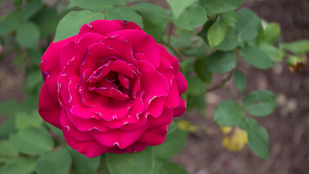 A gorgeous bokeh shot of a bright red rose with green leafy background.