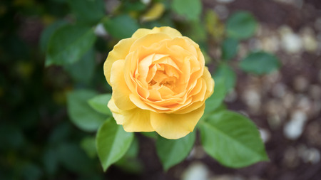 A gorgeous bokeh shot of a bright yellow rose with green leafy background. Фото со стока