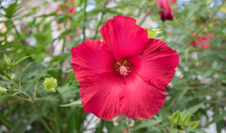 Stunning close up bokeh shot of a red hibiscus flower with green leafy background.