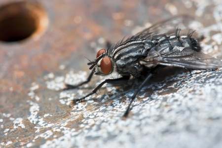 Housefly on background of rusty metal.Closeup photo. photo