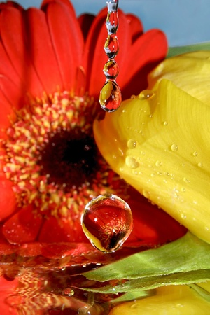 fluctuation: drop; drops; star; flower; gerbera; close up; glass; wine glass; color; colorful; claret; red; yellow; green; reflection; elegance; evening; date; rendezvous; meeting; fluctuation; vacillation; macro; water; liquid; tulip; mirror; surface; tear; tears; he Stock Photo