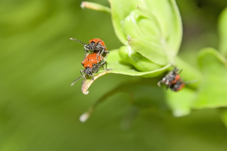 Mating of red beetles on spring meadow  photo