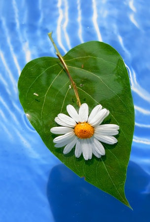 Little flower of chamomile on a leaf.  photo