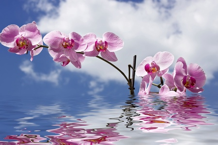 Magenta orchid reflected in clear water. Stock Photo - 12231276