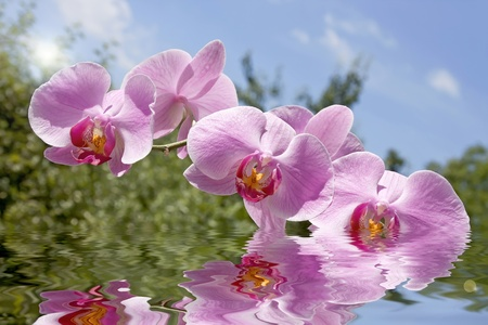 Magenta orchid reflected in clear water.  photo