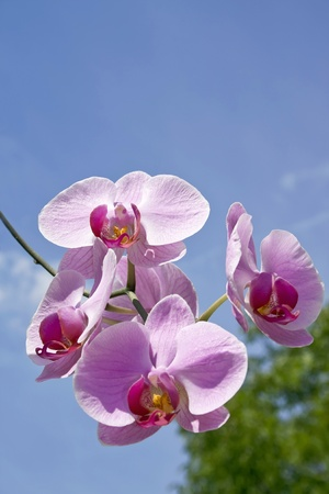Magenta orchid against sky. Stock Photo - 12231230