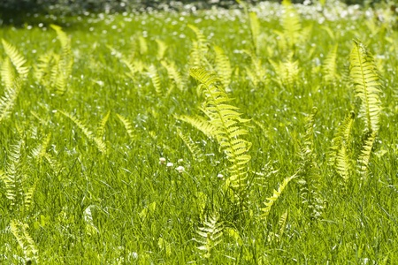 Botanical background  Green lawn with ferns  photo