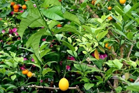 Plantation of citruses photo