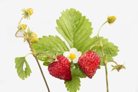 vernal: Freshness  Vernal wild strawberry   Stock Photo