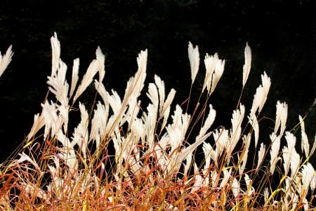calamus: Red reeds