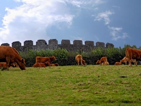 Herd of cows on autumn meadow in Restormel Castle  Stock Photo
