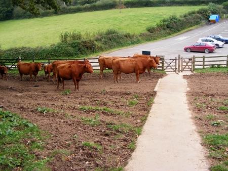 Herd of cattle on farm around Restormel  Cornwall in Great Britain