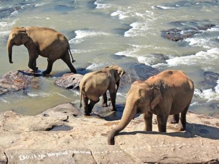 sri: Indian elephant on Sri Lanka