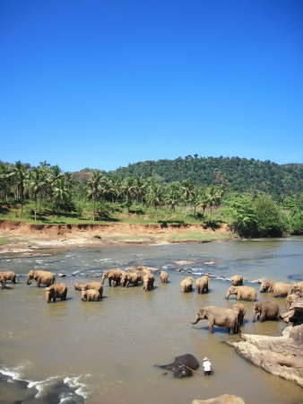Indian elephants bathing photo