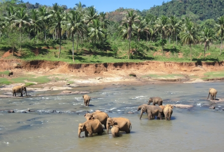 Indian elephants bathing Фото со стока