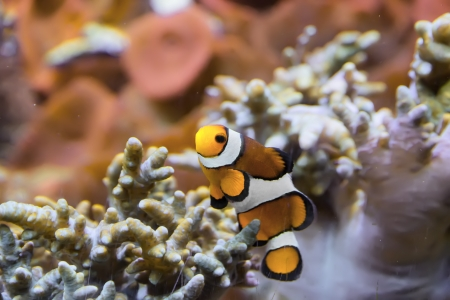 false percula: Clownfish among coral reef