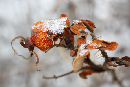 freeze dried: Winter background with frozen hawthorn.