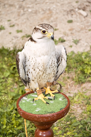 predatory: Predatory birds trained for hunting.