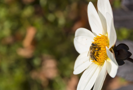 Bee on a spring meadow. White flower.