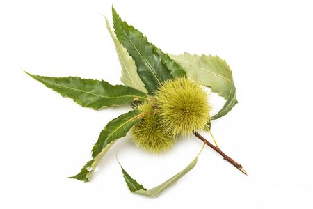 Green twig of sweet chestnut, Fruits and leaves.