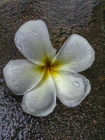 flower petal: A flower after rain Stock Photo