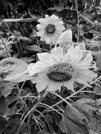 rough: Sunflower