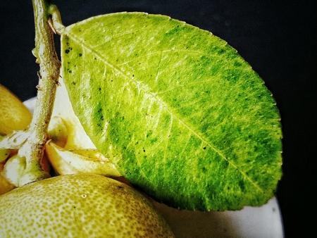colour: Lemon leaf